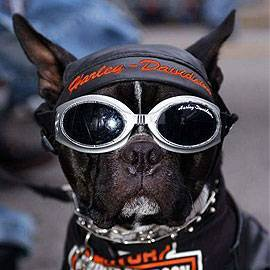 Accessoires Animaux Harley Davidson Triumph Motorcycles